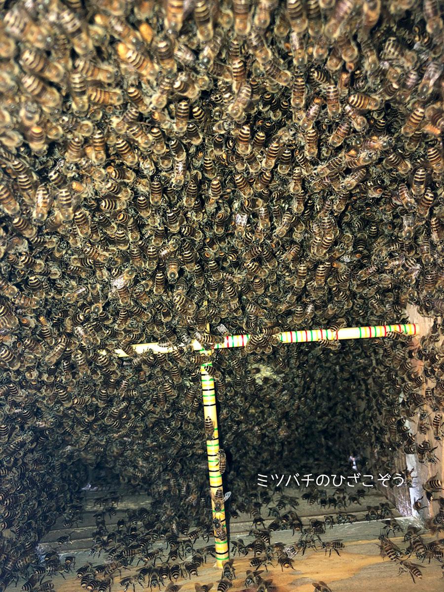 ニホンミツバチ・杉浦農園・内検